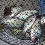 fish in net